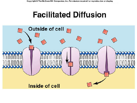 Facilitated Diffusion   Diffusion Through Carrier Proteins Within Cell