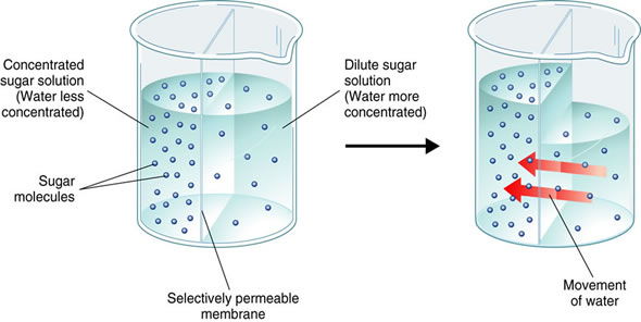 Osmosis   The Diffusion Of Water Through A Membrane