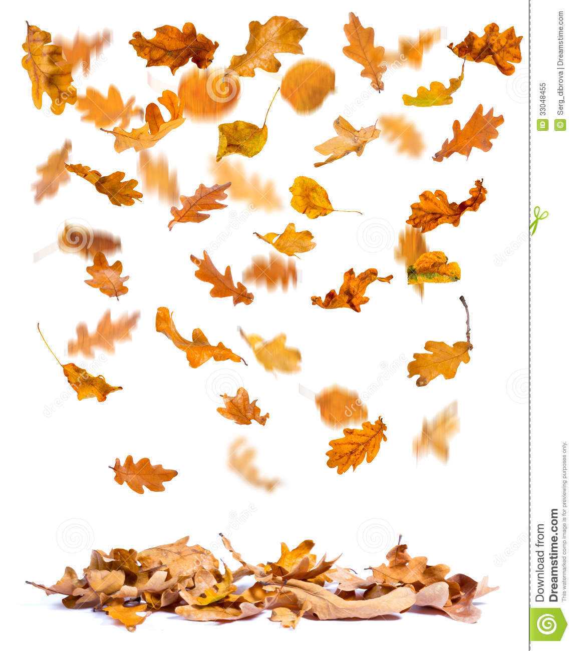 Oak Autumn Leaves Falling To The Ground White Background
