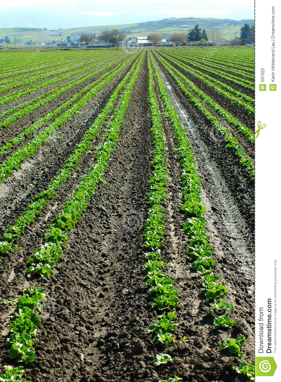 Lettuce Crop Stock Photography   Image  597922