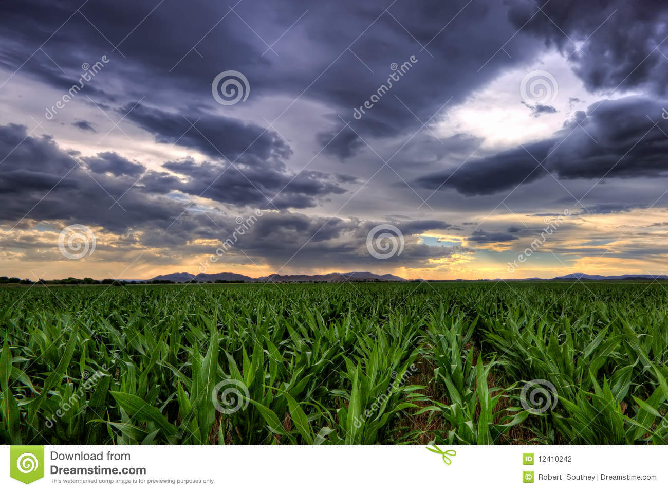 Maize Crop Stock Photography   Image  12410242