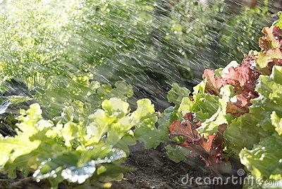 Sprinklers Watering A Home Grown Vegetable Garden Containing Lettuce