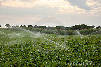 Water Sprinklers Watering The Crops In A Field
