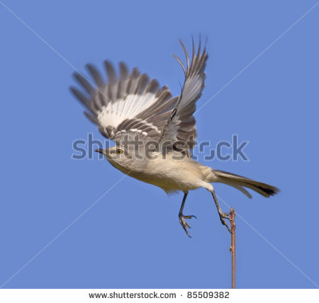Mockingbird Flying Clipart Northern Mockingbird Taking