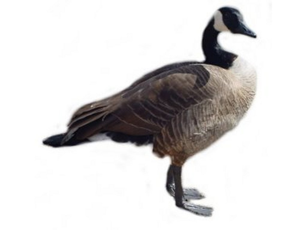 Geese Clip Art Pictures   Free Quality Clipart