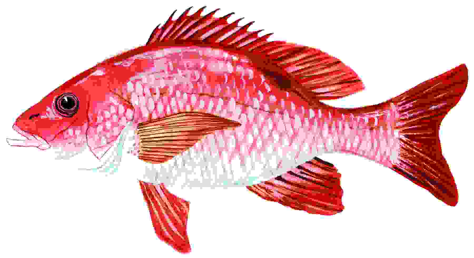 Red snapper clipart clipart suggest for Red snapper fishing
