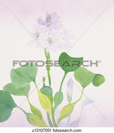 Clipart   Water Hyacinth Close Up  Fotosearch   Search Clip Art