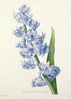 Free Hyacinth Clipart