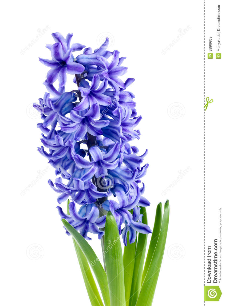 Hyacinth Black And White Clipart