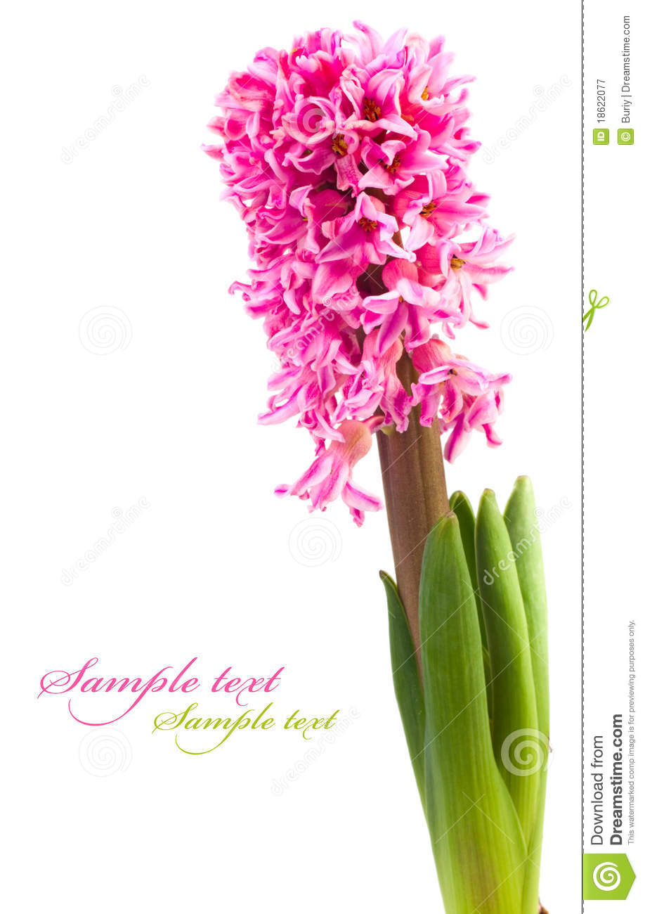 Hyacinth Flower Isolated On A White Background For Your Design
