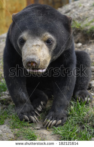 Sun Bear Cub Portrait   Young Bear Looking Into The Camera   Stock
