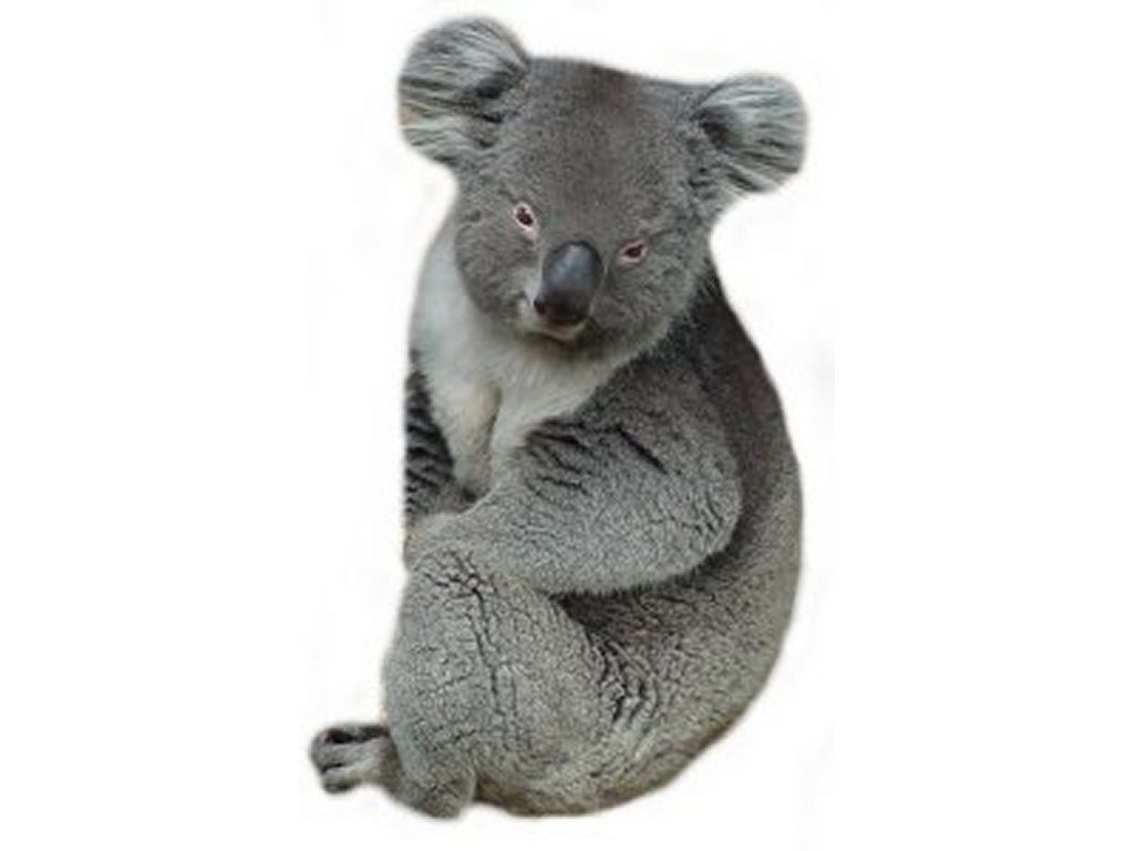 Freeclipartpictures Comfree Koala Bear Clipart