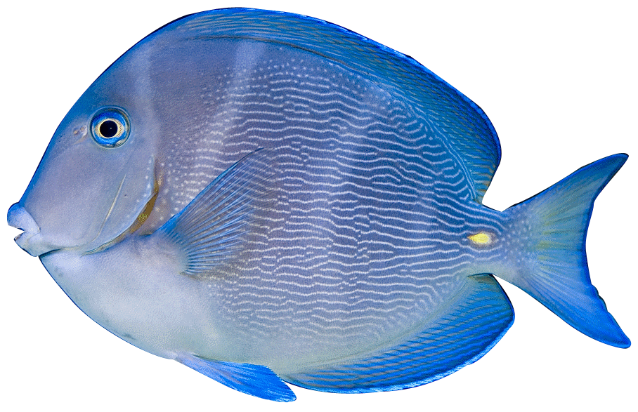Tang fish clipart clipart suggest for Blue parrot fish
