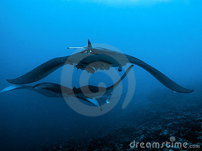Devil Ray Stock Images   Image  4981794