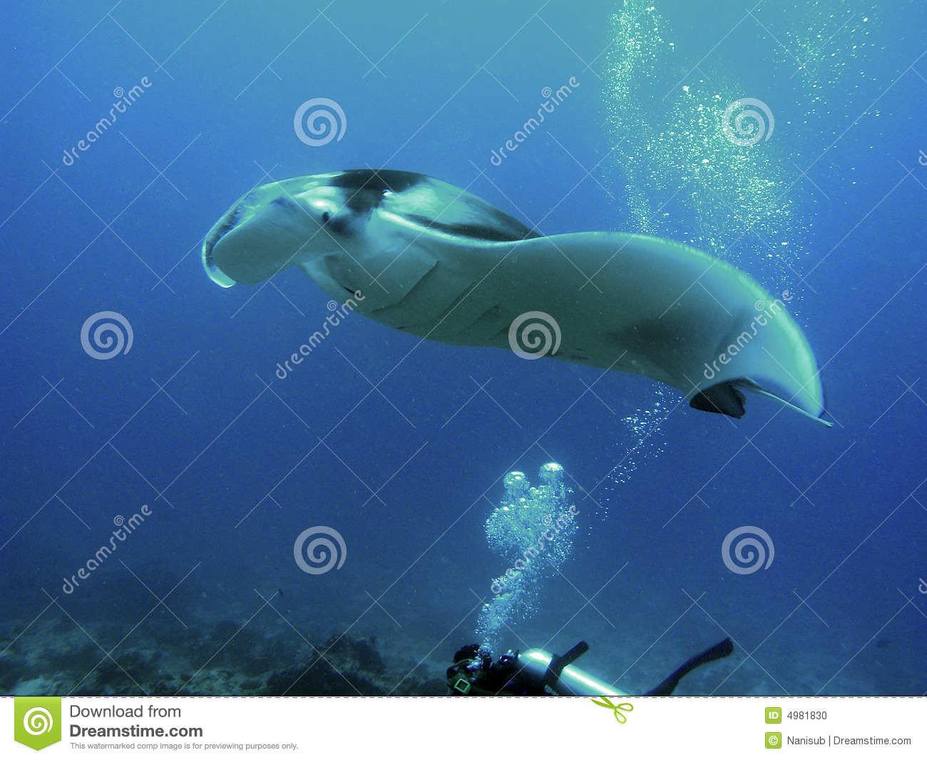 Devil Ray Stock Photo   Image  4981830