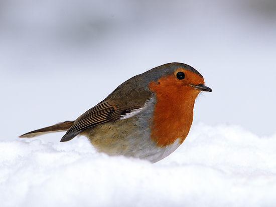 Snowbird Clipart