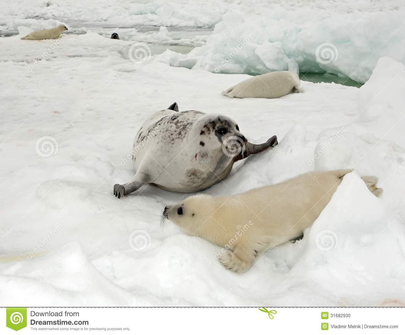 Harp Seal Cow And Newborn Pup On Ice Stock Photo   Image  31682930