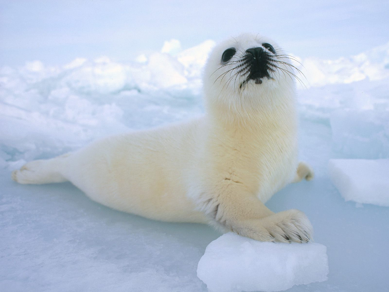 Harp Seal   Cute Animal Interesting Facts   Images   The Wildlife