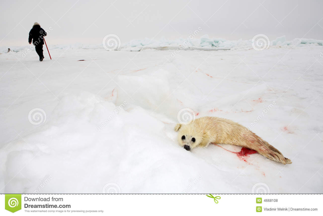 Harp Seal Pup On Ice Of The White Sea     Blood After Delivery Of Seal