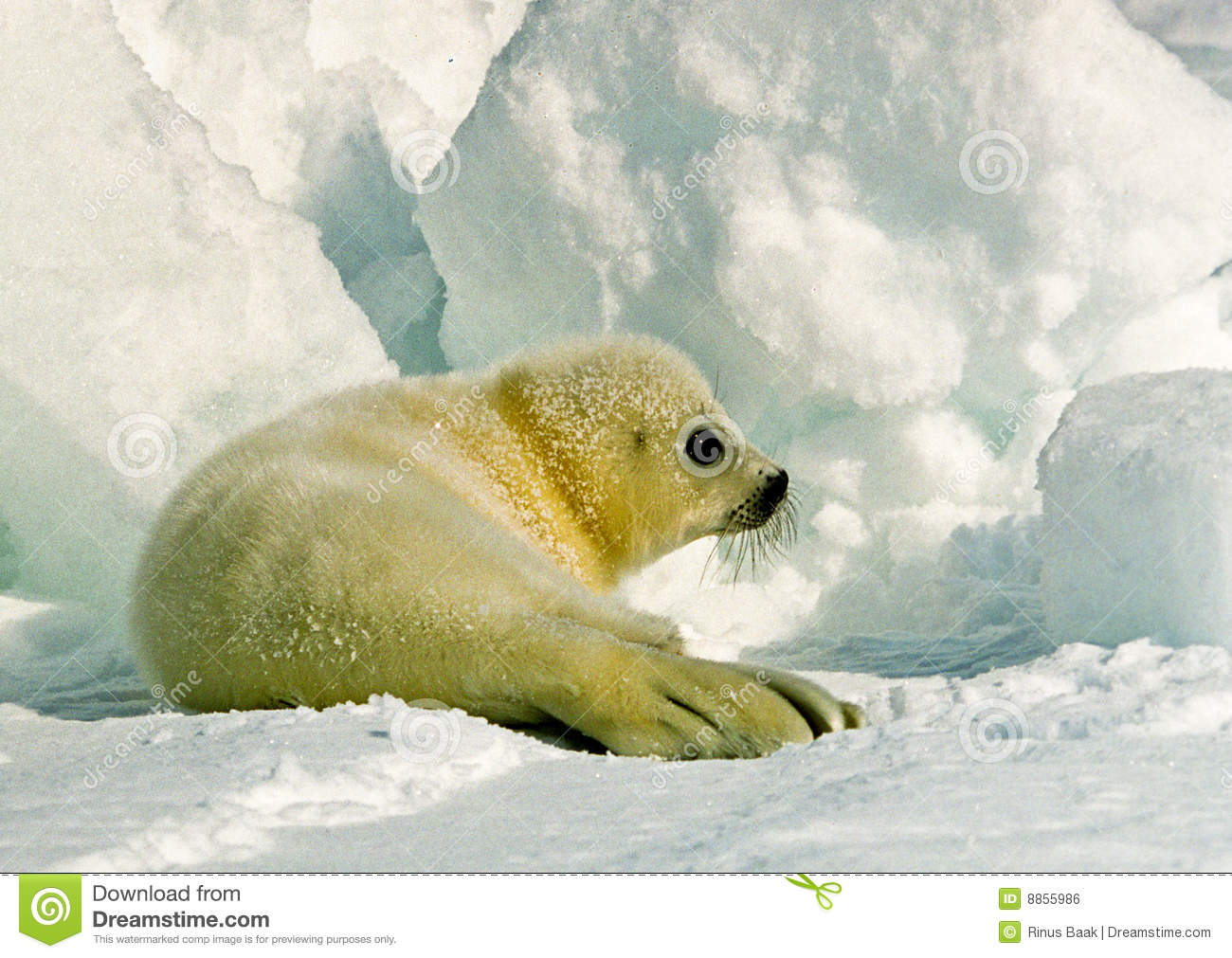 Harp Seal Pup Royalty Free Stock Image   Image  8855986