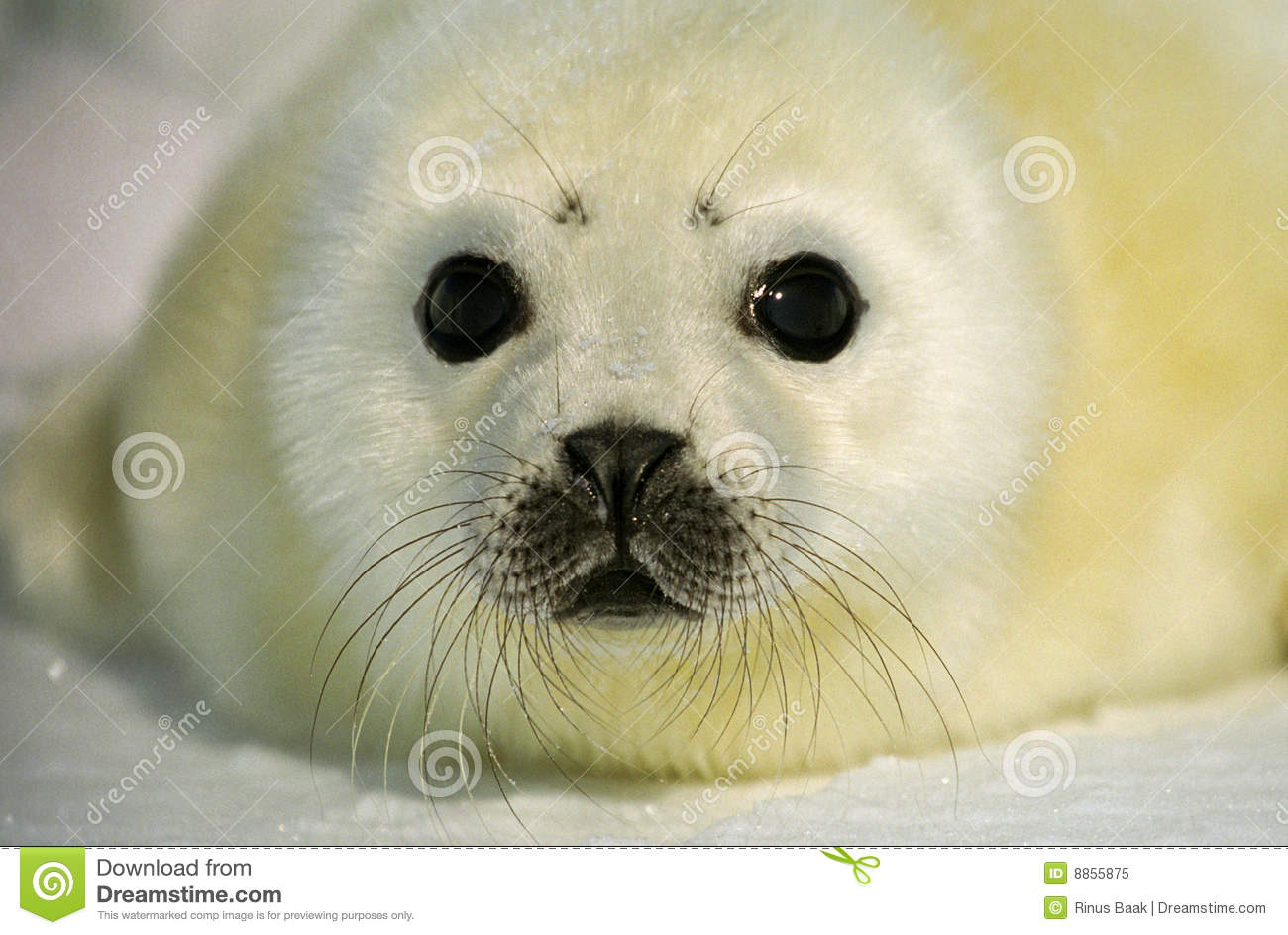 Harp Seal Pup Royalty Free Stock Photo   Image  8855875