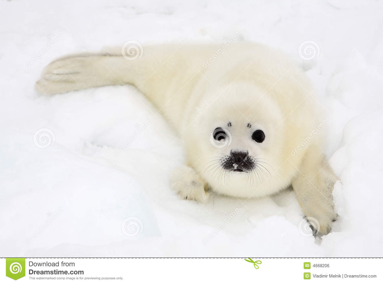 Newborn Harp Seal Pup Royalty Free Stock Image   Image  4668206