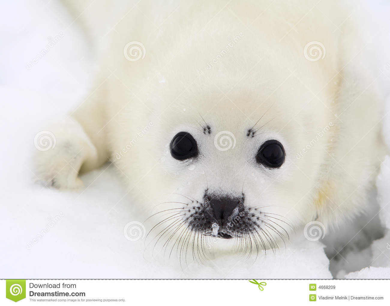 Newborn Harp Seal Pup Royalty Free Stock Images   Image  4668209