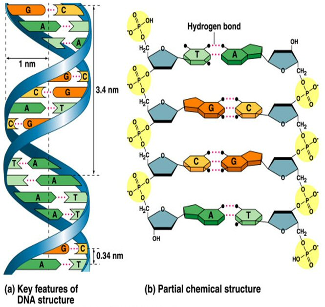 dna structure labeled clipart free clipart szoqa2