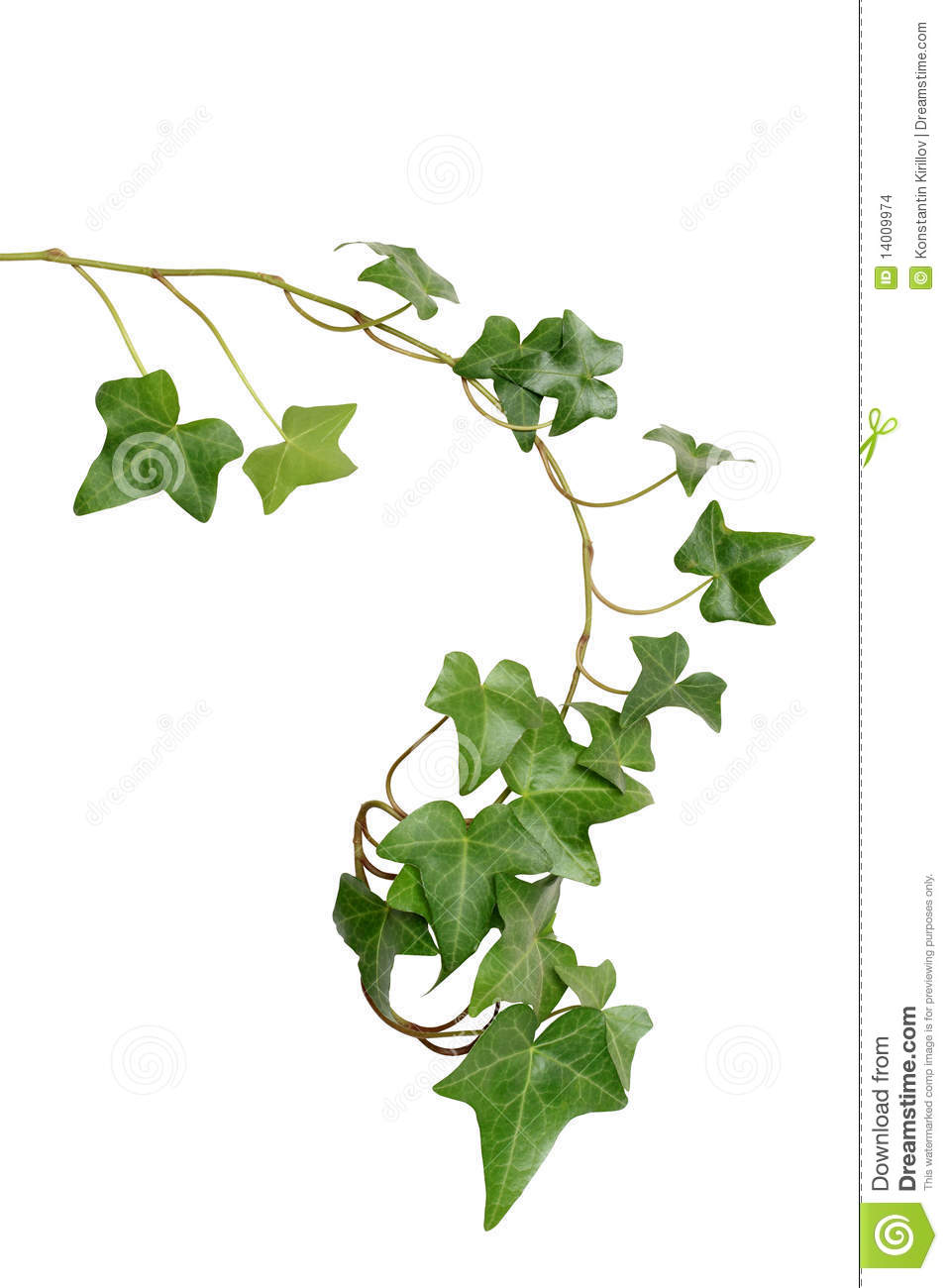 Green Ivy Stock Images   Image  14009974