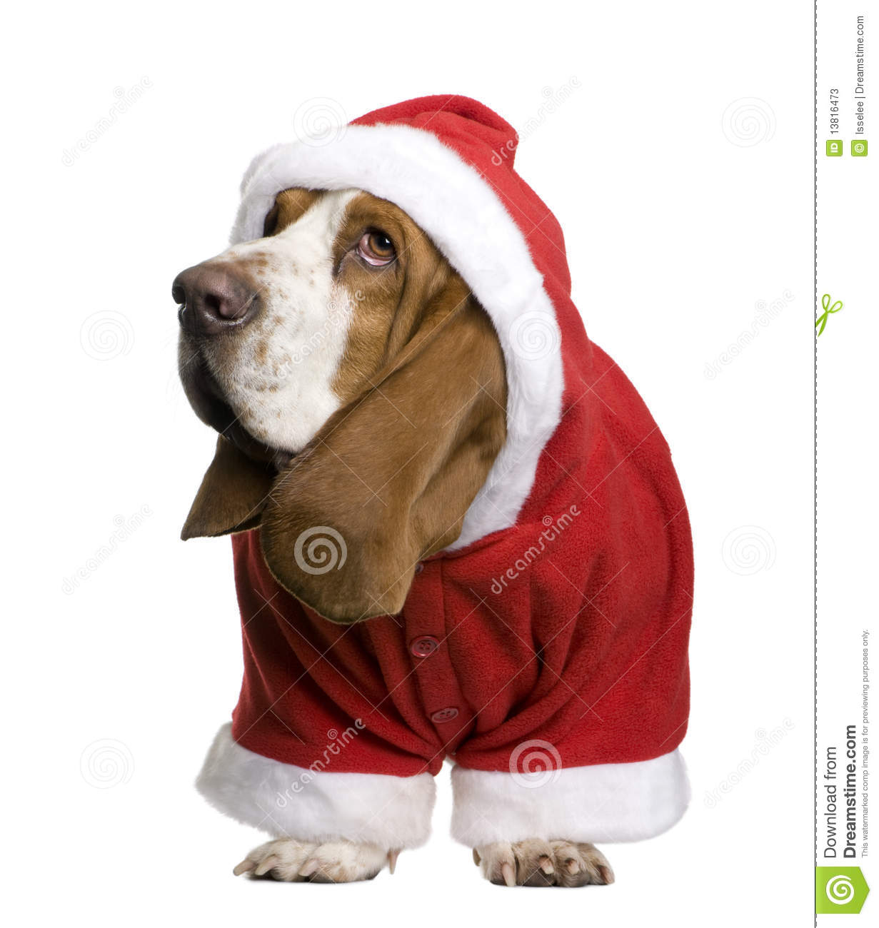 Basset Hound In Santa Coat 2 Years Old Standing In Front Of White