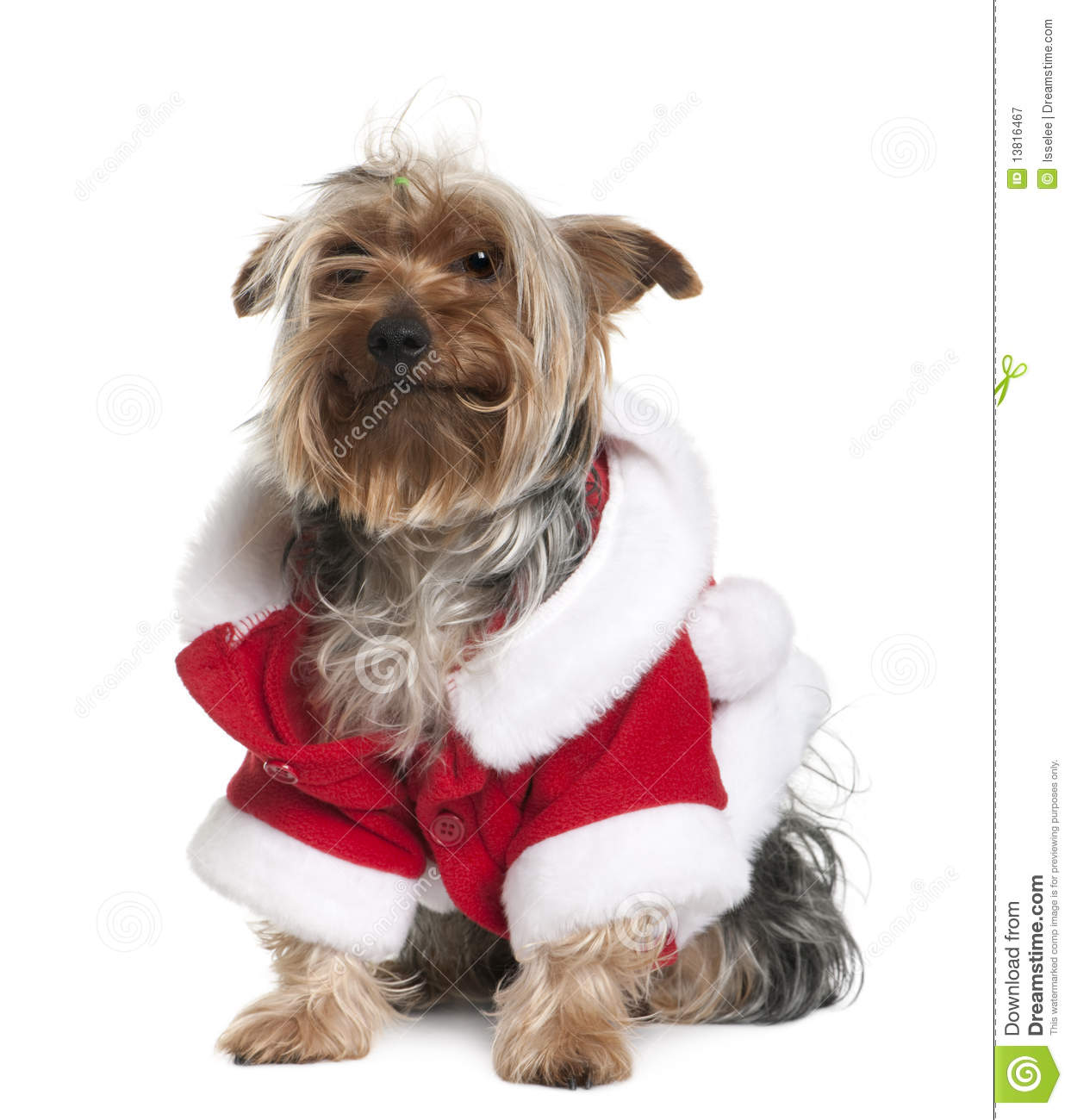 Old Yorkshire Terrier In Santa Coat Royalty Free Stock Photography