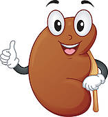 Healthy Kidney   Royalty Free Clip Art