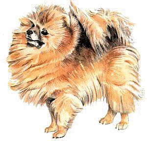 Free Pomeranian Clipart   Free Clipart Graphics Images And Photos