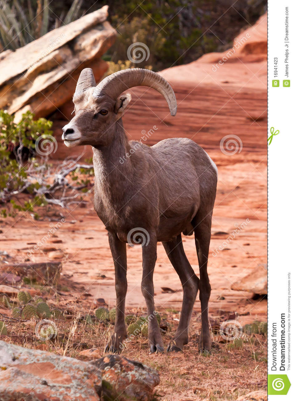 Desert Big Horn Ram Sheep In Utah S Zion National Park