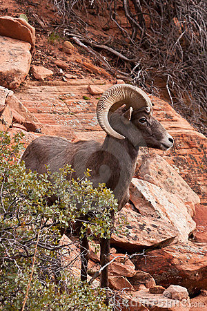 Desert Big Horn Ram Sheep Royalty Free Stock Photo   Image  17329645