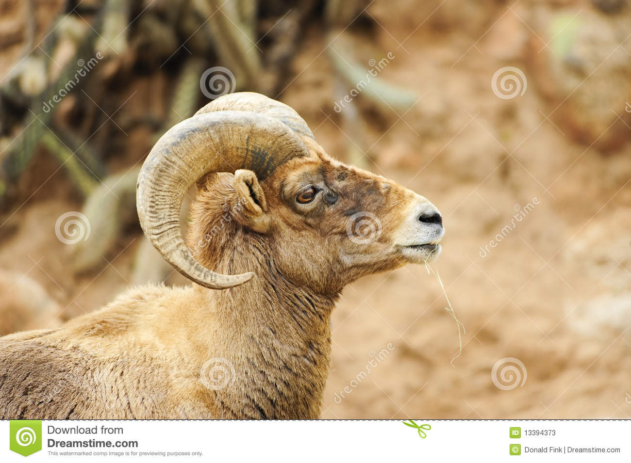 Desert Big Horn Sheep Stock Photos   Image  13394373