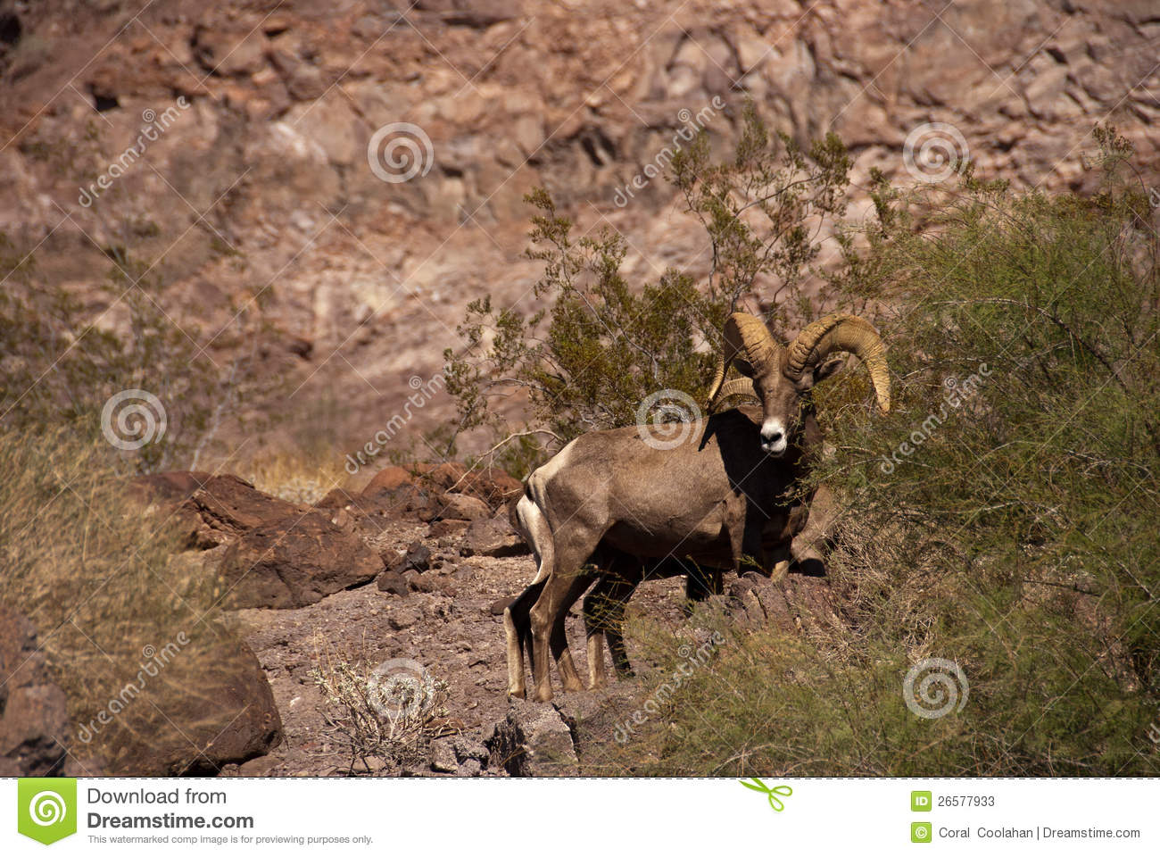 Desert Big Horn Sheep Stock Photos   Image  26577933