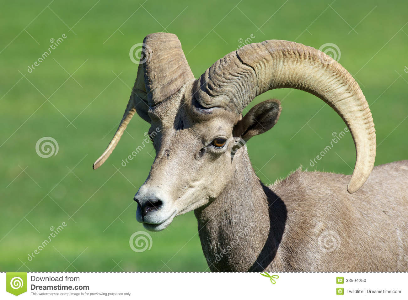 Desert Bighorn Sheep Ram Close Up Stock Photo   Image  33504250
