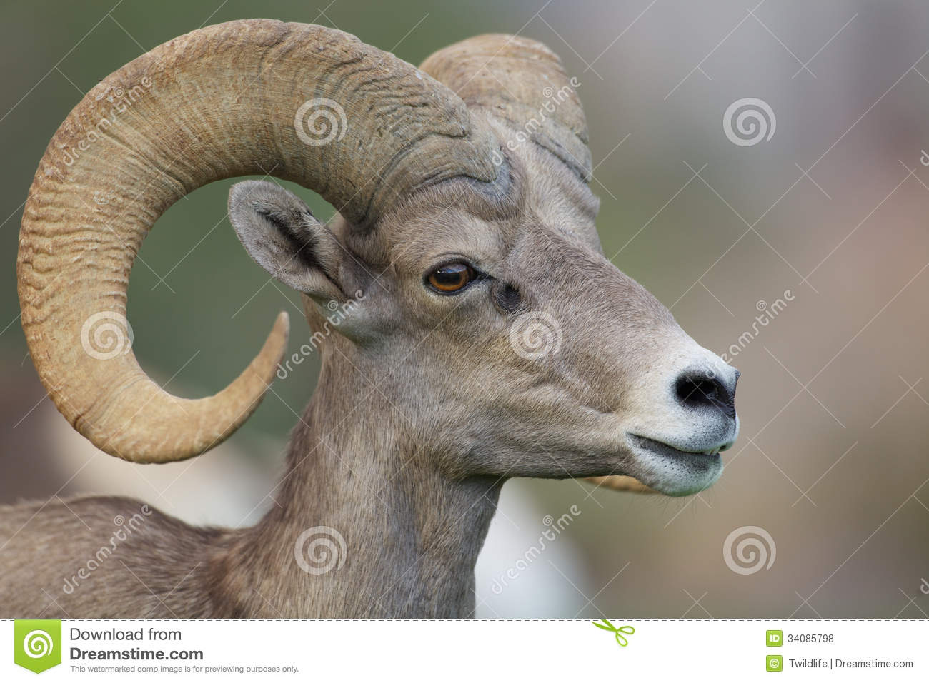Desert Bighorn Sheep Ram Portrait Royalty Free Stock Photos   Image
