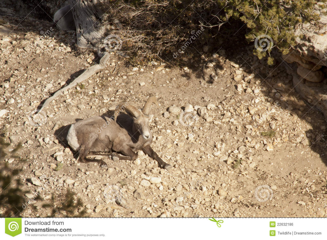 Desert Bighorn Sheep Ram Royalty Free Stock Image   Image  22632186