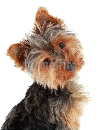 Image Of Closeup On Cute Yorshire Terrier Puppy Isolated On White