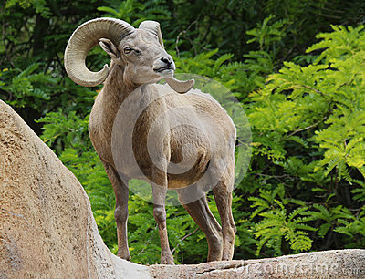 Male Desert Bighorn Sheep Displaying Huge Curved Horns Against Bright