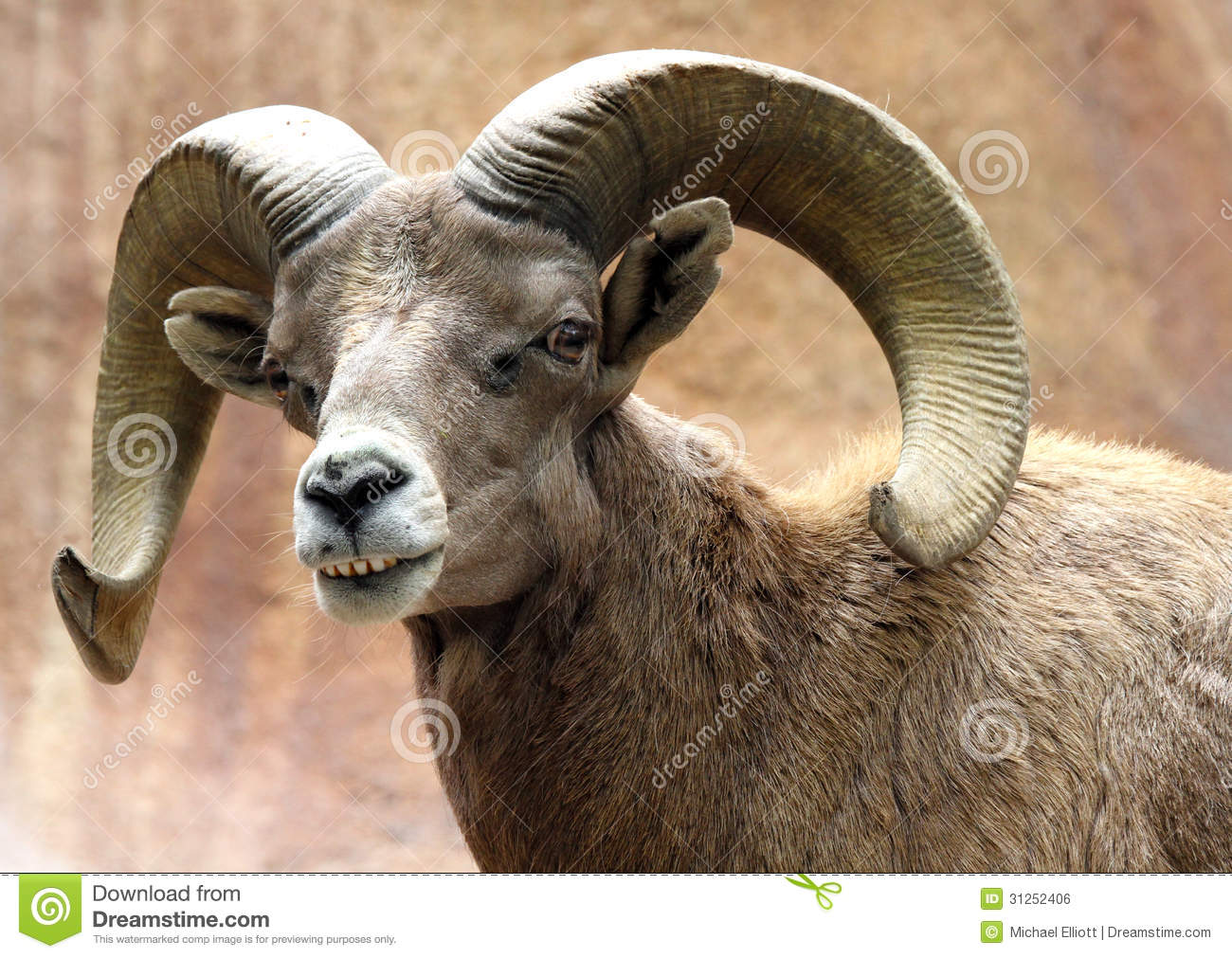 Male Desert Bighorn Sheep Displaying Huge Curved Horns And Teeth