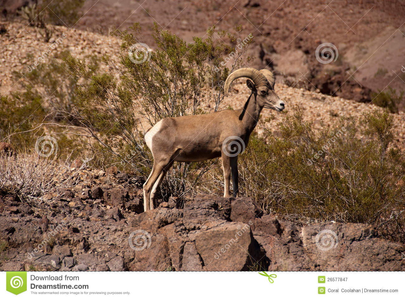 Ram Desert Big Horn Sheep Royalty Free Stock Photography   Image