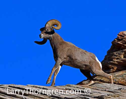 Rams Fighting Desert Bighorn Fighting Rams