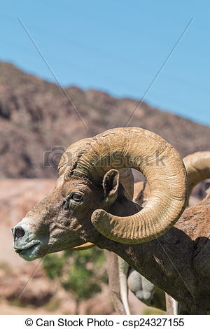 Stock Images Of Desert Bighorn Ram Portrait   A Close Up Portrait Of A