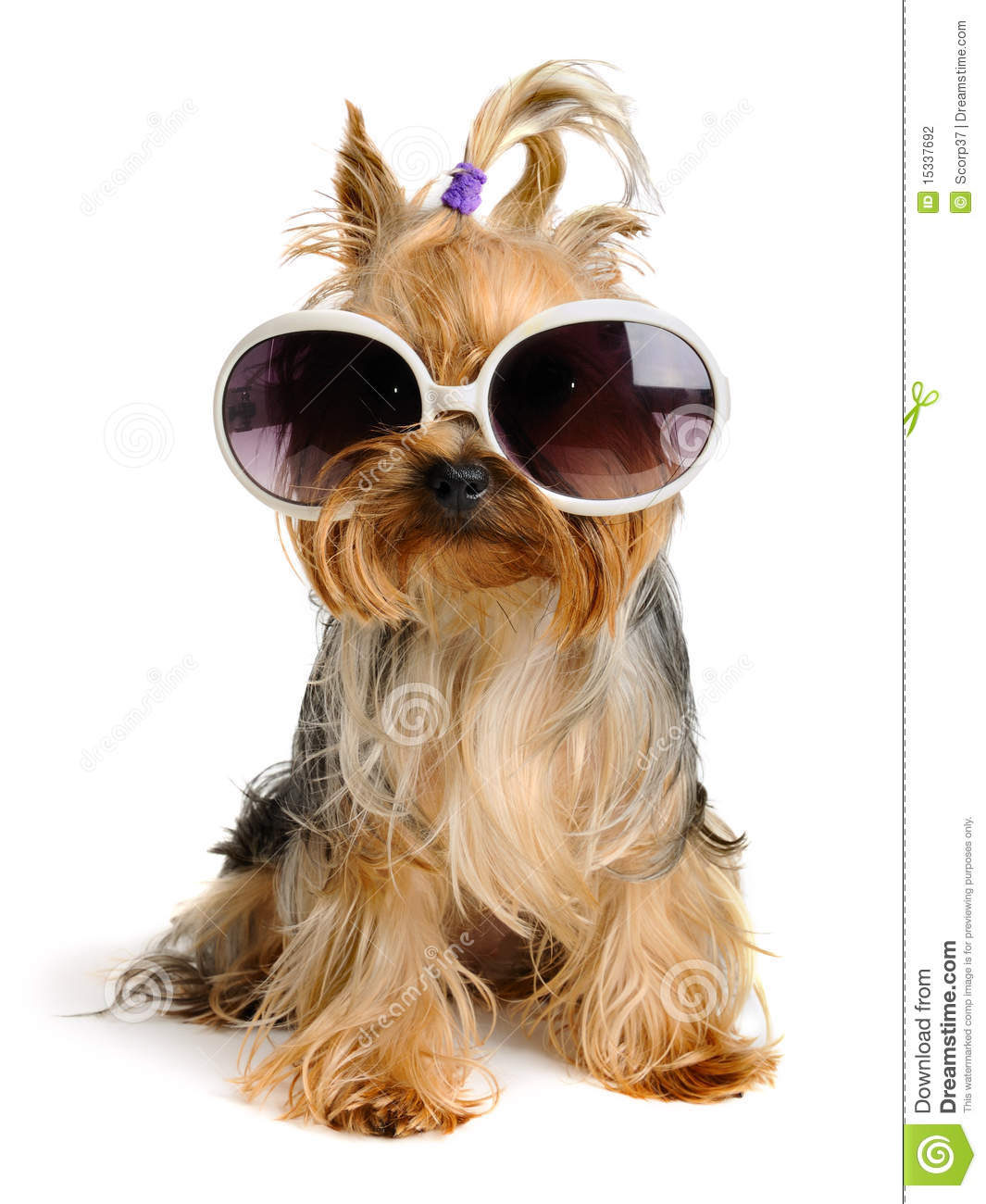 Yorkshire Terrier In Glass Isolated On White