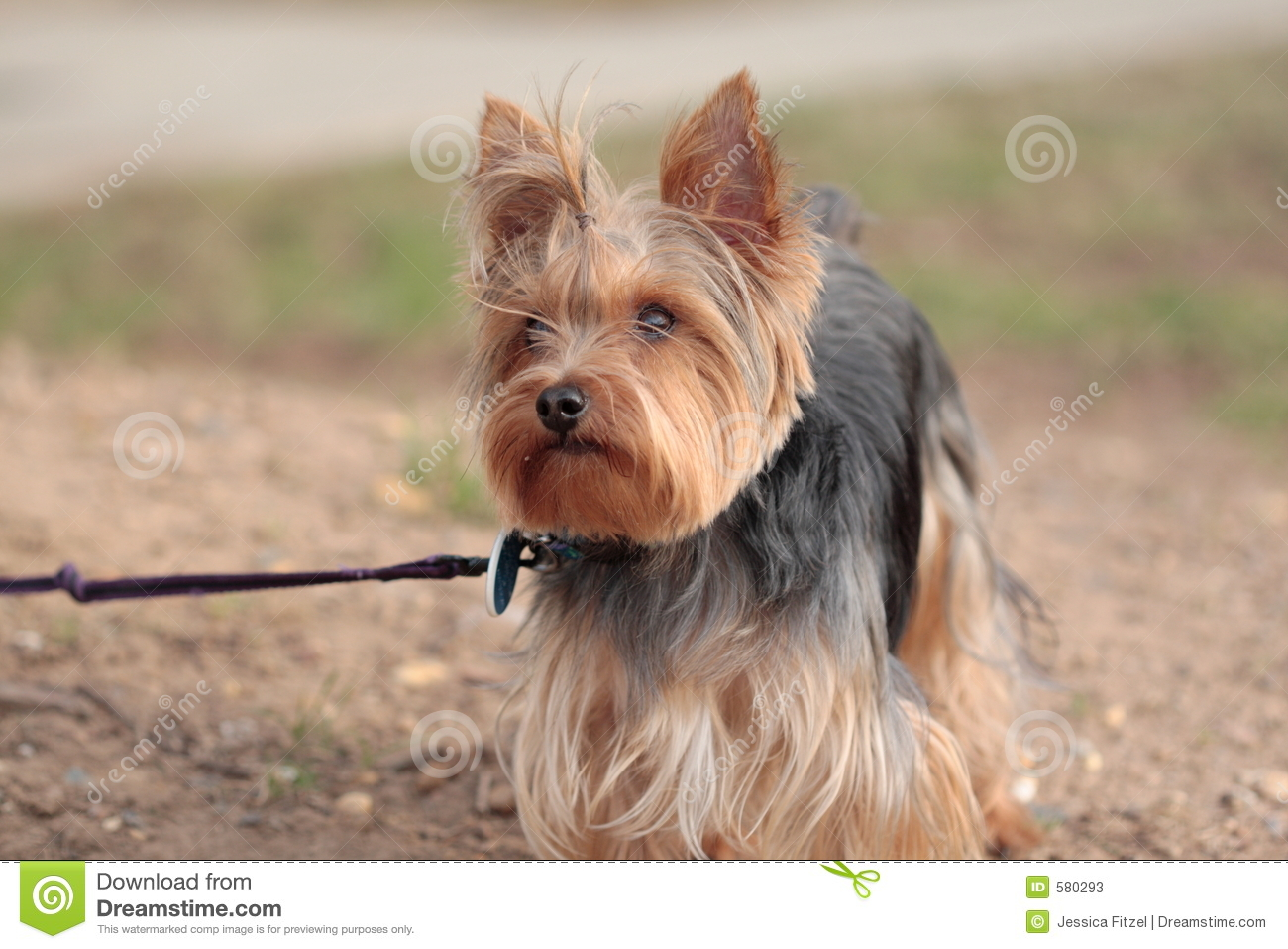 Yorkie Dog On Leash Ready To Go For A Walk