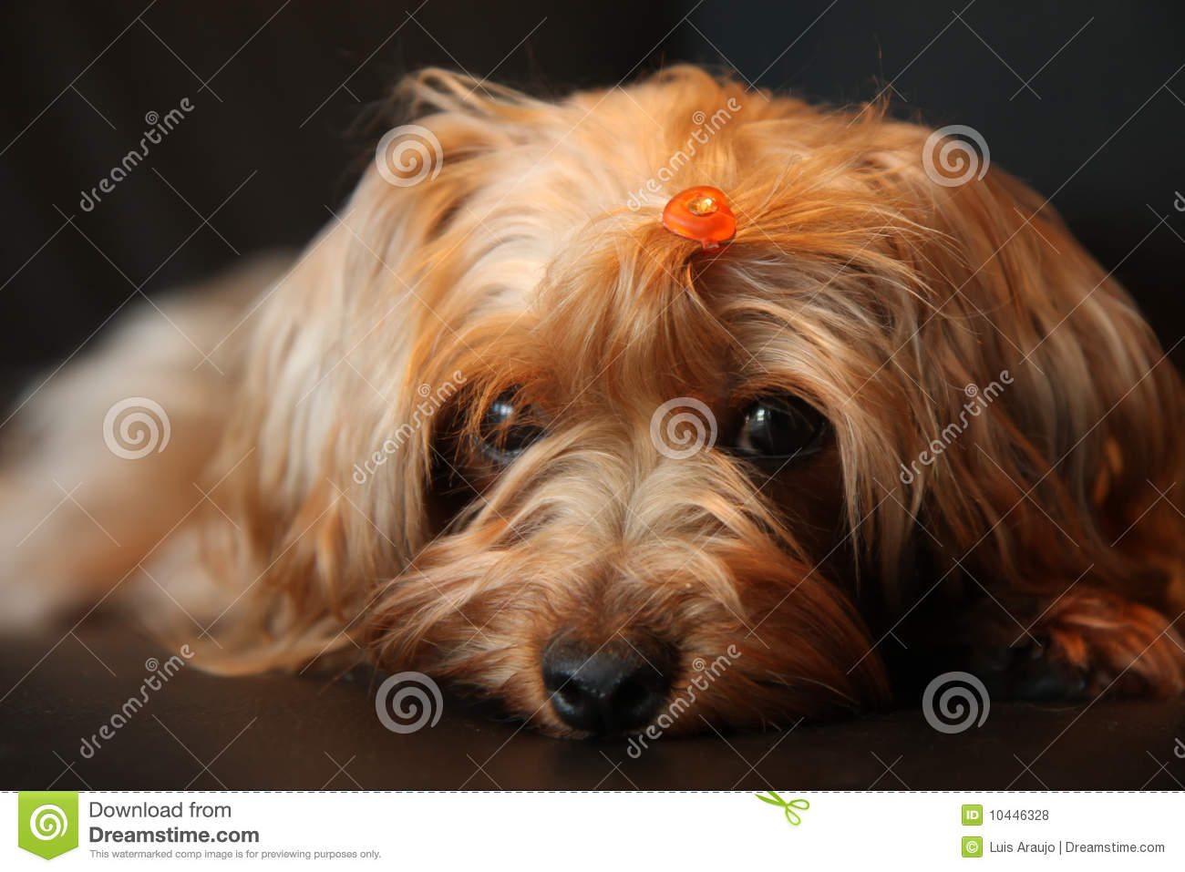 Yorkie Poo Cuteness Royalty Free Stock Photos   Image  10446328