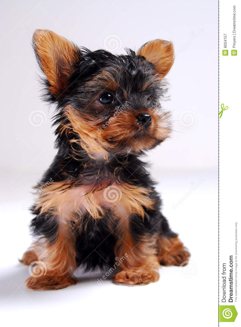 Yorkie Puppy Royalty Free Stock Photography   Image  8004157